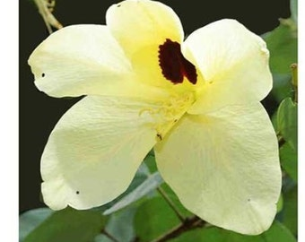 8 Dwarf Yellow Orchid Tree Seeds-1237