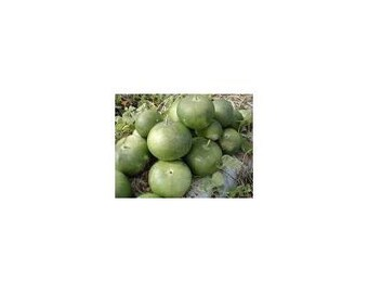 7 African Giant Bushel Gourd Seeds-1180