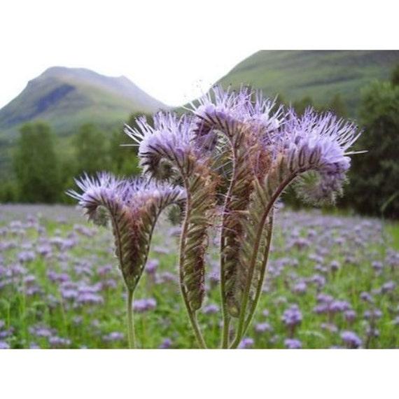 20 Tall Fernleaf Fiddleneck Seeds-1161B