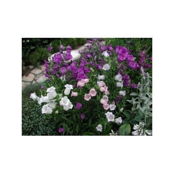 15 Canterbury Bells Cup & Saucer Flower Seeds-1238