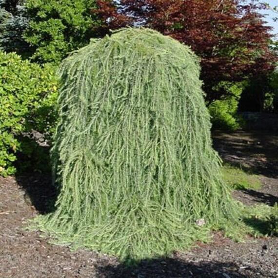 15 Dwarf Weeping Larch Tree Seeds 1233