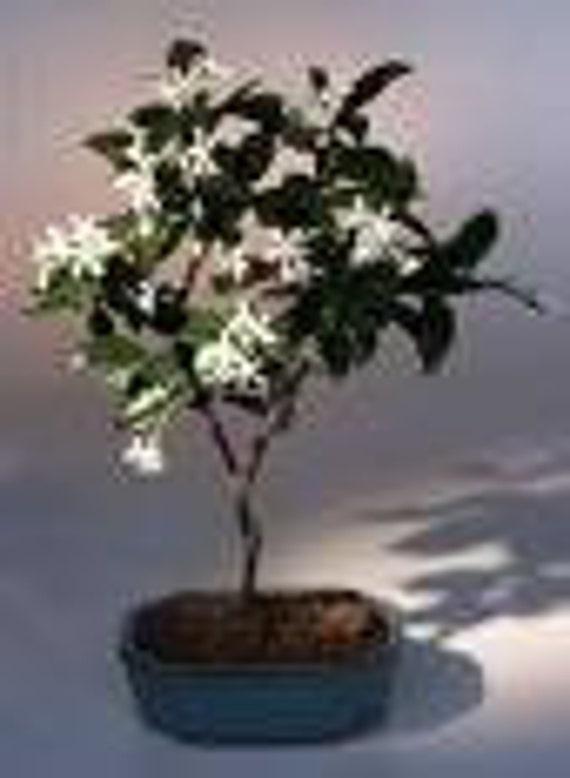 20 Confederate Jasmine Vine Seeds-1220