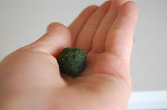live marimo pet,  giant marimo ball