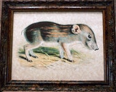 Baby Pygmy Hog Art from 1885 Art Print on Parchment Paper