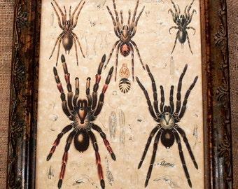 Study of Arachnids Art Print on Parchment Paper
