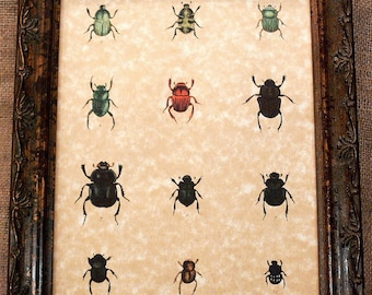 Study of Beetles Art Print on Parchment Paper