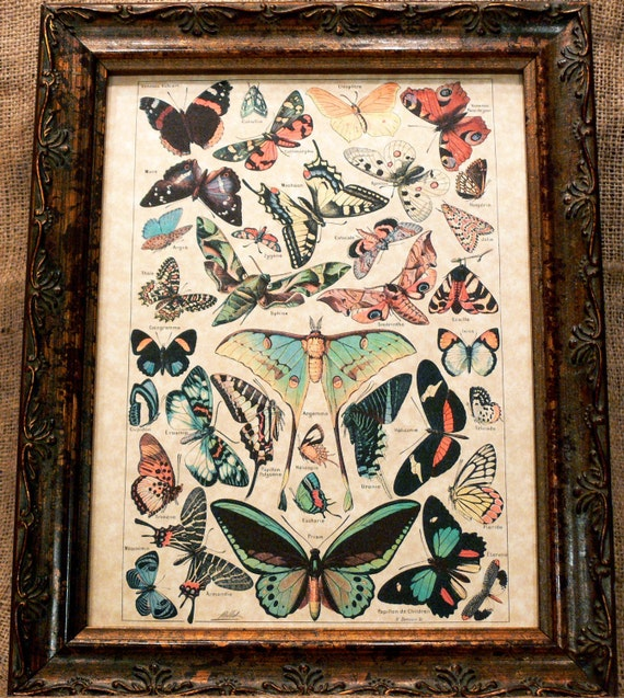 Study of Butterflies Art Print from 1907 on Parchment Paper