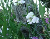 White Sweet Peas & Fence Post - 5x7 Print