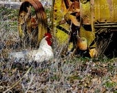 Rooster, Vintage Tractor, Fine Art Photograph, Old, Red, White, Rustic, Country, Farm, 5x7