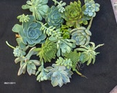 Succulent Wedding Favors - A Collection of 24 Succulent Cuttings Great for Wreath Making, Bouquets, Party Favors, Wedding Favors