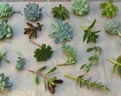 Succulent Cuttings - A Collection of 50 Succulent Cuttings Perfect for Bouquets, Boutonnieres, Centerpieces, Wedding Favors