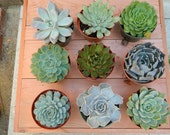Special Listing for Michelle - 12 Succulent Rosette Shapes for Wedding Bouquets, Wedding Cake Toppers, Centerpieces, Succulent Container