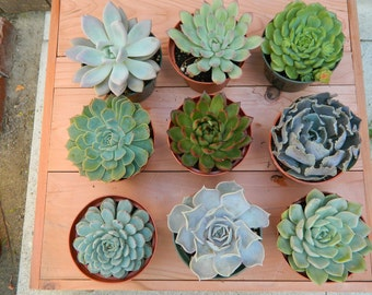 Succulent Plant Collection - 9 Succulent Rosette Shapes for Wedding Bouquets, Wedding Cake Toppers, Centerpieces, Succulent Container