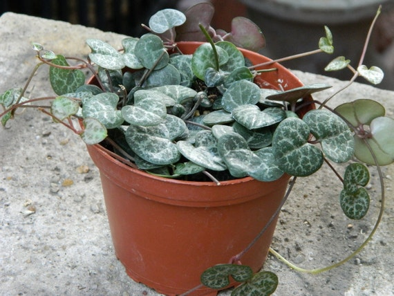 String of Hearts Houseplant, Vining Plant, Great for Hanging Baskets, Valentines Gift