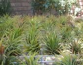 10 Pack Tillandsia Ionantha Assorted  Air Plants