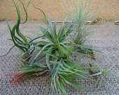 6 Pack Assorted Tillandsia Medium Size