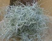 """Tillandsia Usneoides """"Spanish Moss"""""""