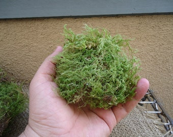 Green sheet moss for terrariums and orbs.