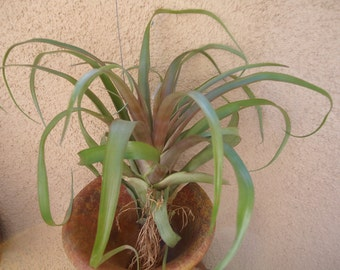 LG Tillandsia Capitata Red Large Air Plant