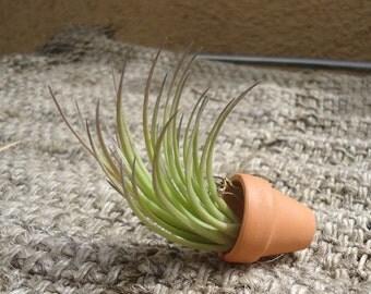 Tillandsia Tenuifolia Bronze Tip