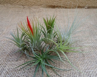 6-Pack Mini Tillandsia