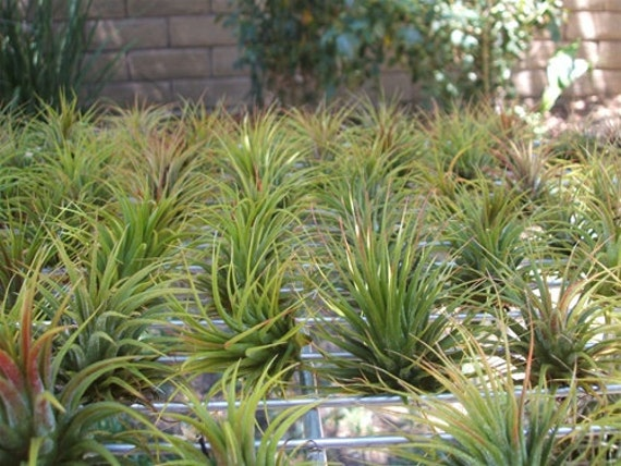 10 Pack Tillandsia Ionantha Assorted  Air Plants