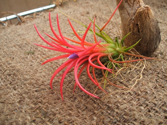 Tillandsia Ionantha Fuego Large