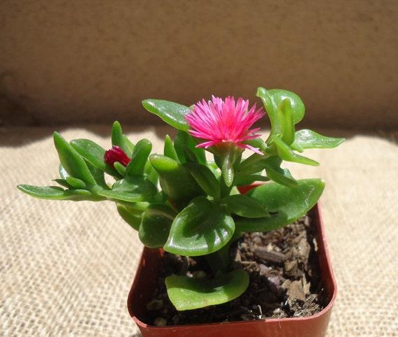 Baby Sunrose Succulent-Aptenia Cordifolia