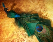Long Tailed Feather Bird (Peacock )
