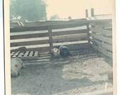 3 HOGS 1 black PIG 2 white pigs n pig pen COLOR  Vintage Photo