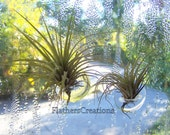 Air Plant tillandsia on suction cup