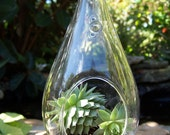 Wedding Centerpieces or Wedding favors Succulents in a  Glass hanging or sitting Terrarium DIY Beach Woodland