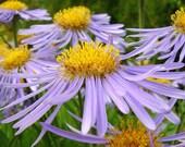 Looking Skyward, 5 x 7, Fine Art, Photo, lilac, lavender, purple, yellow, mustard, flower, floral, photograph, nature, garden