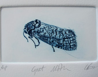 Drypoint Small Goat Moth. Hand pulled print, Artist Proof.