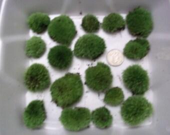Live Cushion Moss - Small Size