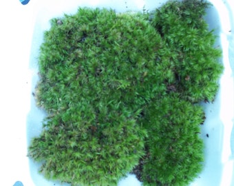 "Fresh Live Frog Mood Moss - 3"" to 4"" Plants For Terrarium or Vivarium"