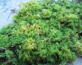 Live Feather Fern Moss 1 Quart Terrarium Vivarium Bonsai Reptile
