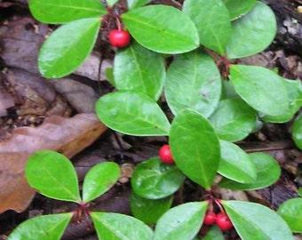 Live Wintergreen Teaberry Plants for Garden, Terrarium, Fairy Garden