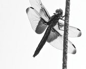 5x7 Female Widowskimmer Dragonfly in black and white - by Rikki Rogers