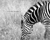 African Safari Fine Art Photography 11x14 - Zebra Stripes Reserved for Lesly G.