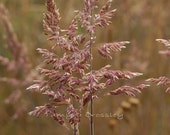 Pink Wheat Fine Art Photography 8 x 10 by Tamyra Crossley.