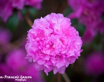 Pink pompon