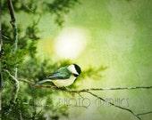 Bird Photography, Chickadee, Fine Art Print, Nature Photo, Distressed, Vintage Look, Tree Branch, Black, Green, Yellow, White 8x10