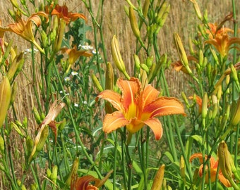 Field of Daylillies 8 x 10 Fine Art Photograph