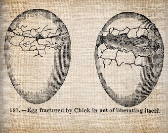 Antique Illustration Chicks Hatching from Eggs Digital Download for Papercrafts, Transfer, Pillows, etc Burlap No. 3473