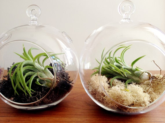 sphere shaped glass hanging terrarium, and your choice of moss, desk garden, DIY