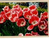 Tulip Card, Fine Art, Photograph taken at Disney World