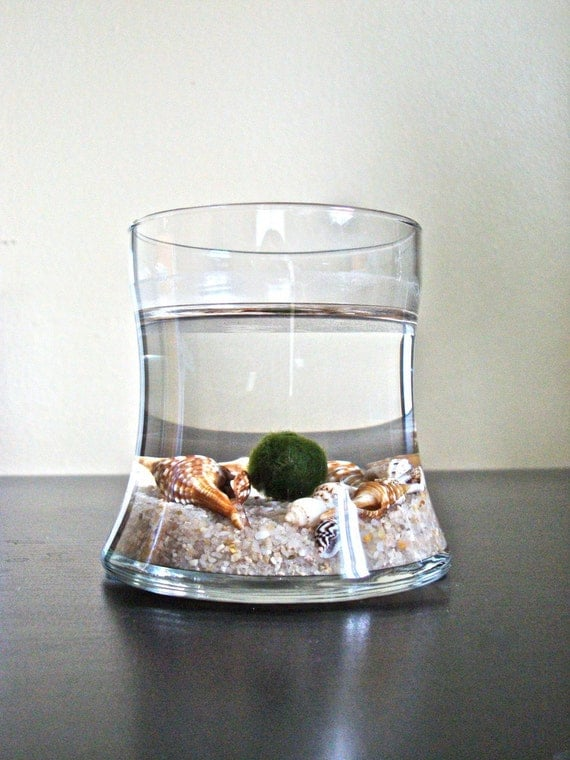 SALE Japanese Marimo Pet Moss Ball Aquarium / Cute Aquarium Plant Habitat, Unique Table Decor, Unique Desk Decor, Interesting Home Decor