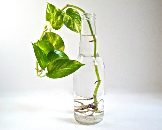 SALE One of a Kind -- An Eco-friendly Repurposed Glass Vase with House Plant