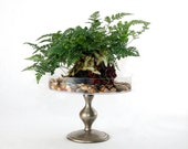 Terrarium: Rabbit-Foot Fern growing on a volcanic rock - sitting on a bed of polished river rock.